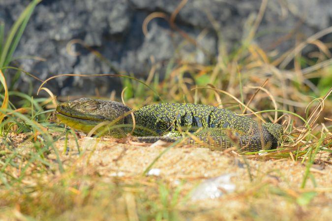 Ocellated Lizard  - Miguel Eraso