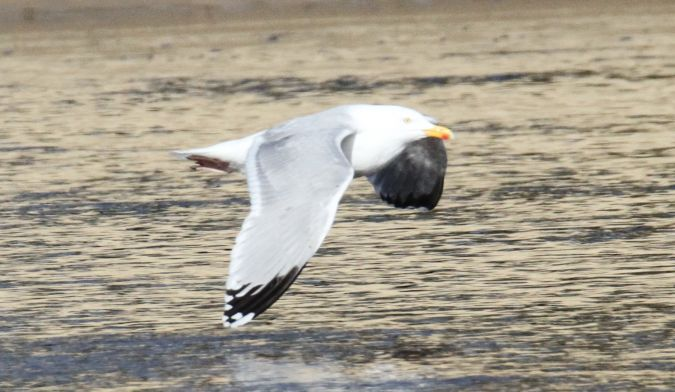 Herring Gull  - Bertrand Lamothe
