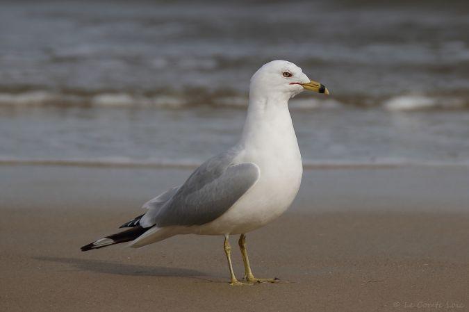 Ring-billed Gull  - Loïc Le Comte