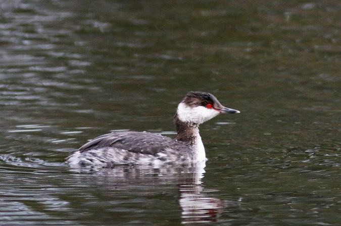 Horned Grebe  - Michel Lascombes