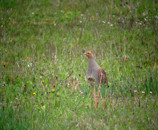 Grey Partridge  - David Lambottin