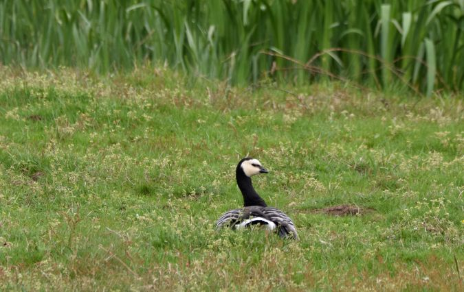 Barnacle Goose  - Geoffroy Chabot