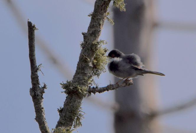 Sardinian Warbler  - Geoffroy Chabot