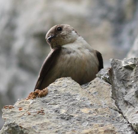 Eurasian Crag Martin  - Alain Naves