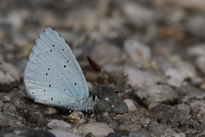 Holly Blue  - Pierre Zimberlin