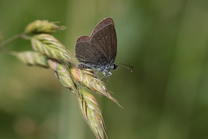 Provençal Short-tailed Blue  - Pierre Zimberlin