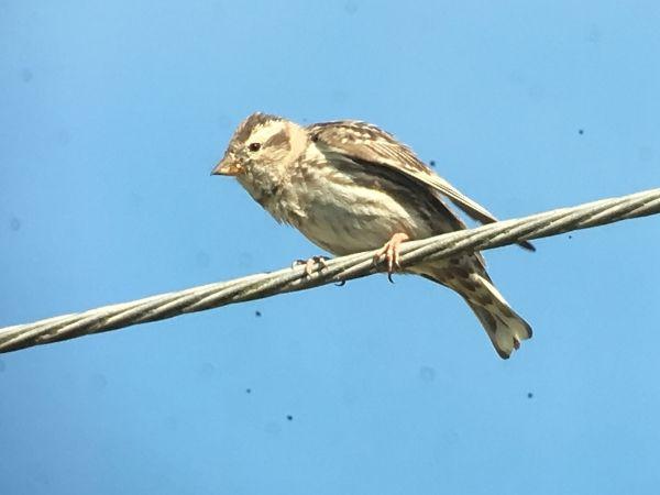 Rock Sparrow  - Jean-Claude Bonnet