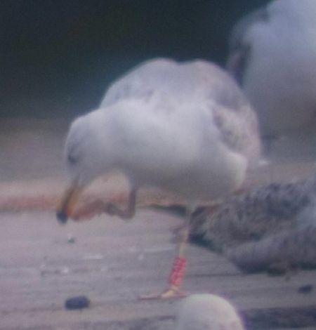 Cantabric Yellow-legged Gull  - Charlie Bodin