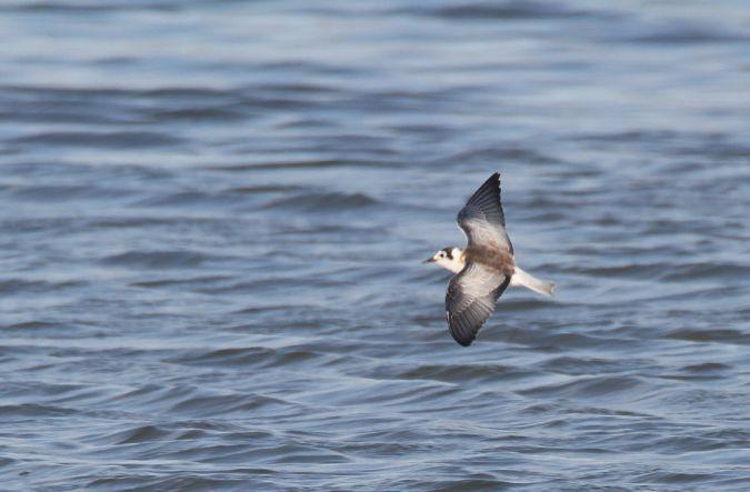 White-winged Tern  - Alain Noel