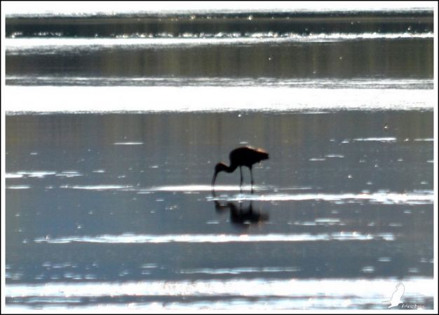 Glossy Ibis  - Serge Pontacq