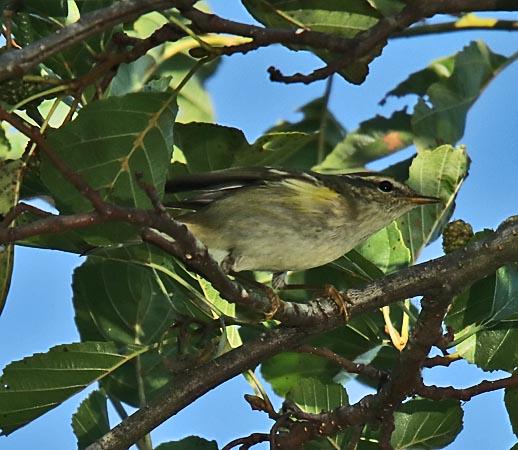 Yellow-browed Warbler  - Andre Linda