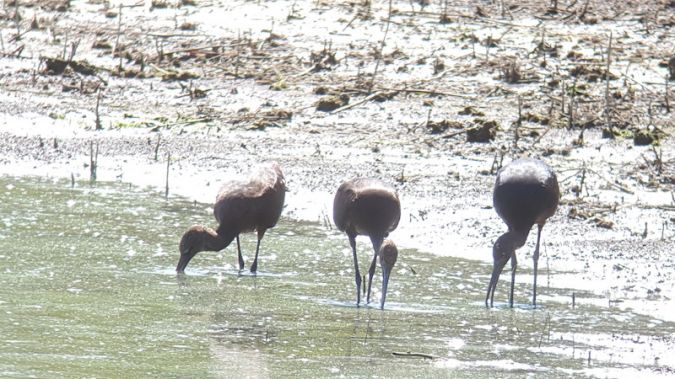 Glossy Ibis  - Anonymous