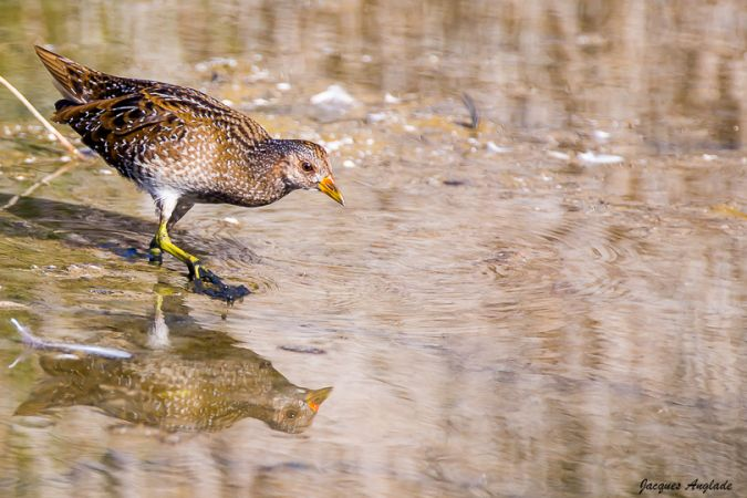Spotted Crake  - Jacques Anglade