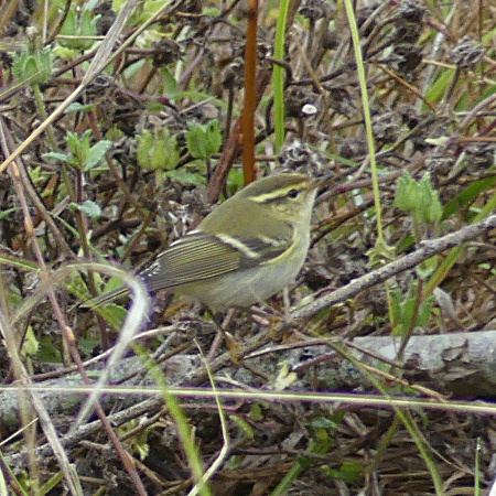 Yellow-browed Warbler  - Gilles Prince