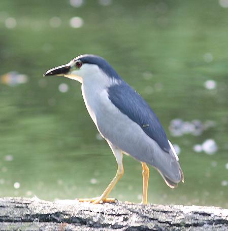 Black-crowned Night Heron  - Alain Naves