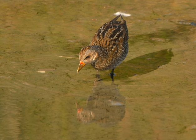 Spotted Crake  - Guy Delcroix