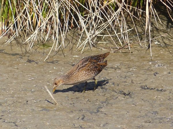 Spotted Crake  - Didier Leveau