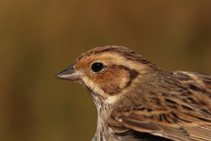 Little Bunting  - Stéphan Tillo