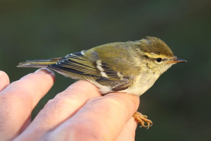 Yellow-browed Warbler  - Stéphan Tillo
