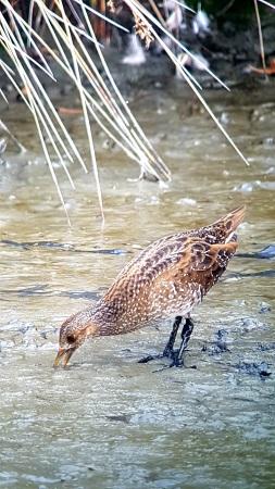 Spotted Crake  - Le Teich  Réserve Ornithologique-PNRLG