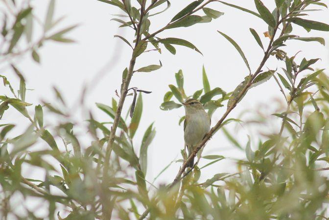 Yellow-browed Warbler  - Frédéric Cazaban