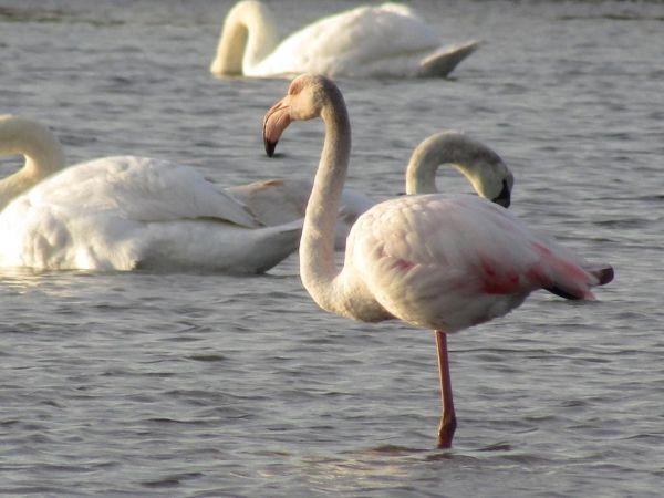 Greater Flamingo  - Mathieu Taillade