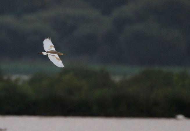 Squacco Heron  - Alain Noel