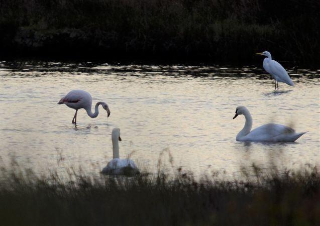 Greater Flamingo  - Alexandre Bert Guide Naturaliste Ot D'arès