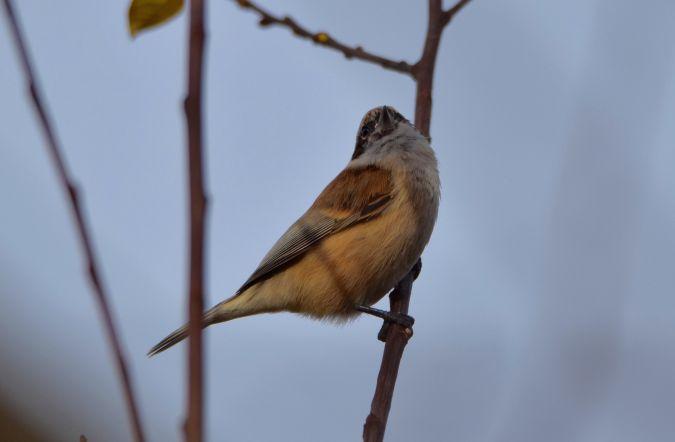 Eurasian Penduline Tit  - Geoffroy Chabot
