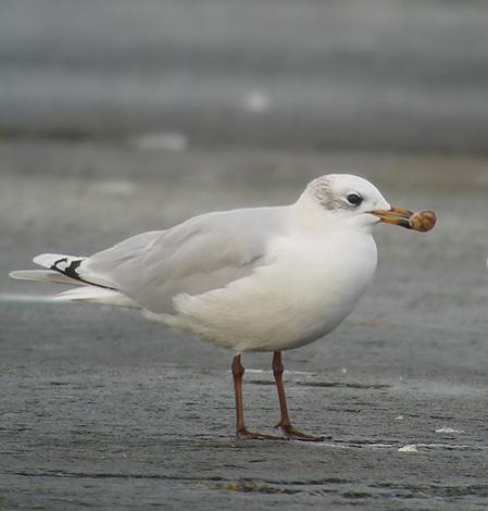 Mediterranean Gull  - Alain Naves