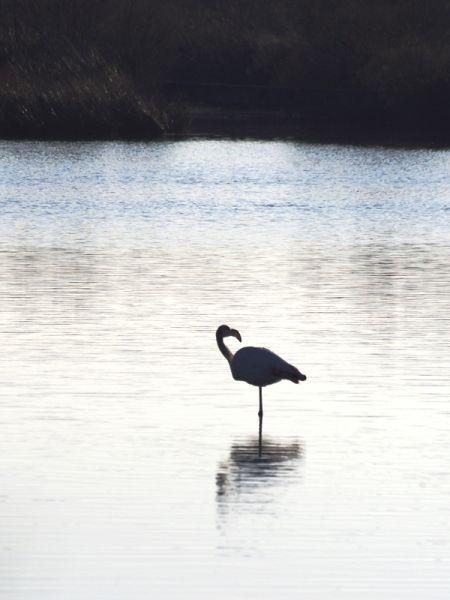 Greater Flamingo  - Jérémie Gaine
