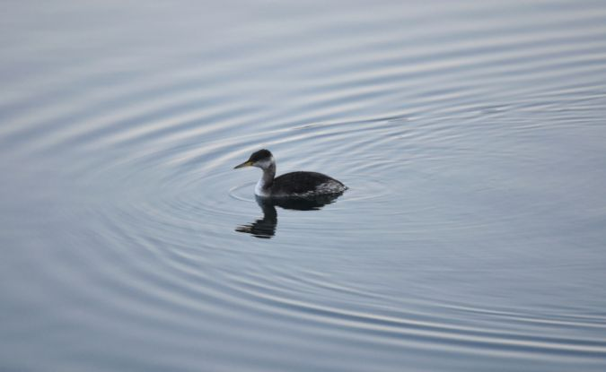 Red-necked Grebe  - Etienne Legay