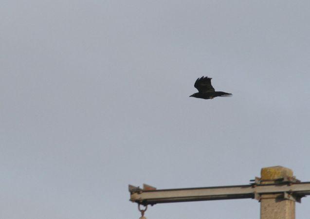 Carrion Crow  - Alain Noel