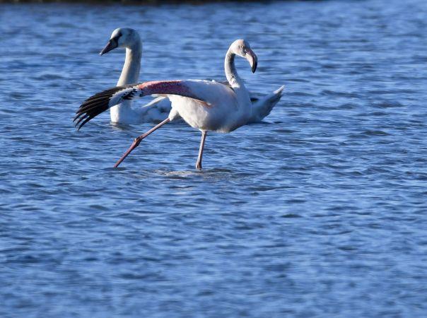 Greater Flamingo  - Daniel Godinou
