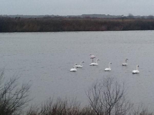 Greater Flamingo  - Le Teich  Réserve Ornithologique-PNRLG