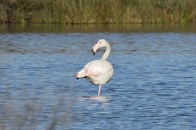 Greater Flamingo  - Hubert Huguenot