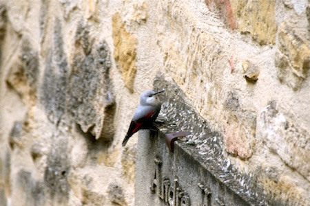 Wallcreeper  - Vincent Bersars