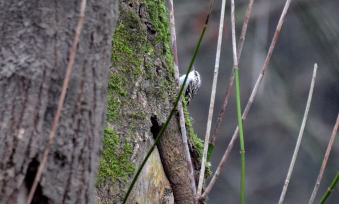 Eurasian Treecreeper  - Geoffroy Chabot