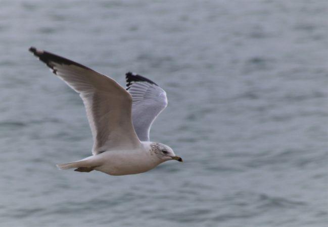 Ring-billed Gull  - Camille Montegu