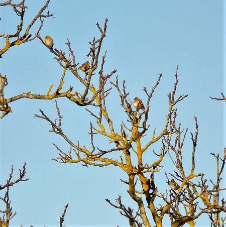 Common Chaffinch  - Murielle Desrois