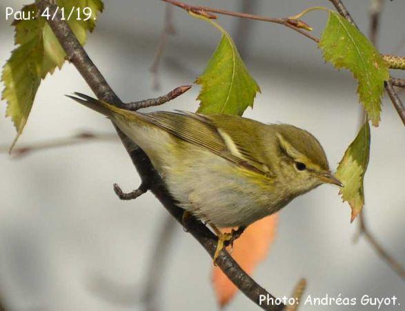 Yellow-browed Warbler  - Andréas Guyot