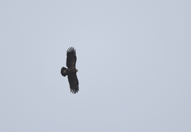 Greater Spotted Eagle  - Etienne Legay