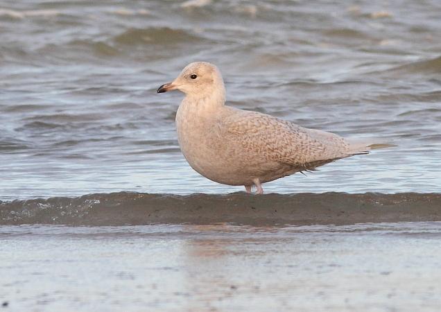 Iceland Gull  - Sébastien Pierre