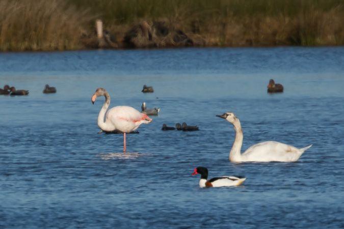 Greater Flamingo  - Laurent Cornu