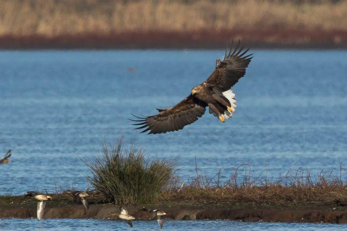 White-tailed Eagle  - Laurent Cornu
