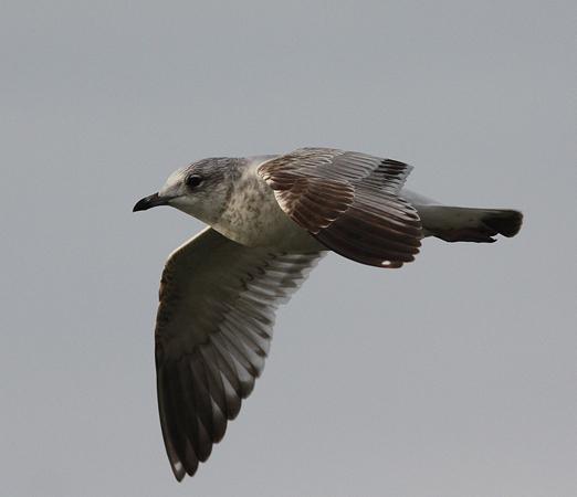Common Gull  - Alain Naves
