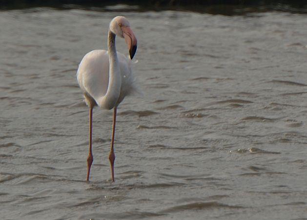 Greater Flamingo  - Guy Delcroix