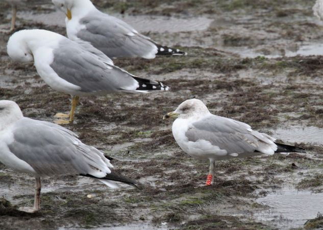 Cantabric Yellow-legged Gull  - Bertrand Lamothe