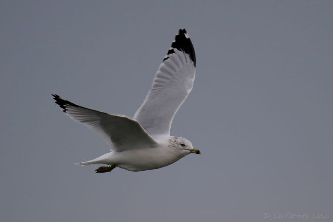 Ring-billed Gull  - Le Comte Loïc