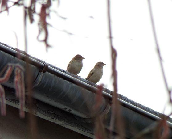 House Sparrow  - Murielle Desrois